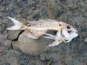 Fisch NZ